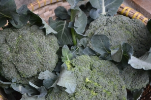 Foto:  Brócoli orgánico